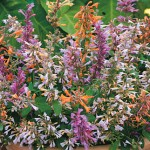 Agastache, Aurantiaca Fragrant Delight Mix