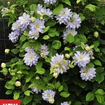 Clematis, Diamond Ball PPAF