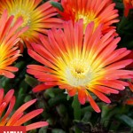 Delosperma, Fire Wonder