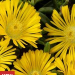 Delosperma, Golden Wonder