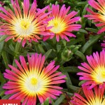 Delosperma, Hot Pink Wonder