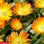 Delosperma Orange Wonder Plants