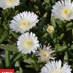 Delosperma, White Wonder