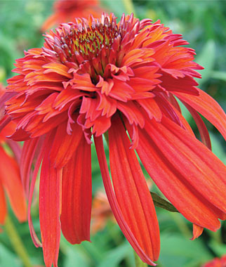 echinacea hot papaya plants garden seeds and plants. Black Bedroom Furniture Sets. Home Design Ideas