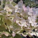 Hydrangea Paniculata Unique Plants
