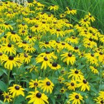 Rudbeckia Goldsturm Seeds & Plants