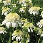 White Double Delight Echinacea Plants