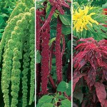 Amaranthus Seeds
