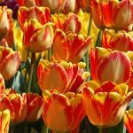 Banja Luka Tulip Bulbs