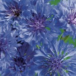 Blue Boy Cornflower Seeds