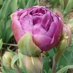 Blue Wow Tulip Bulbs