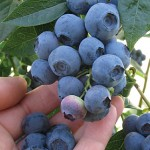 Blueray Blueberry Plants
