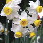 Canaliculatis Daffodil Bulbs