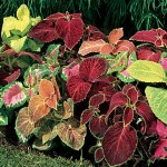 Coleus, Wizard Mixed Colors