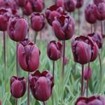Continental Tulip Bulbs