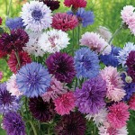 Cornflower, Tall Double Mixed Colors