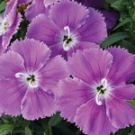 Dianthus, Diana's Blueberry Hybrid