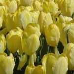Easter Moon Tulip Bulbs