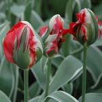 Esperanto Tulip Bulbs