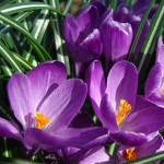 Flower Record Crocus Bulbs