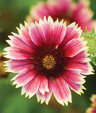 Gaillardia Punch Bowl Hybrid Garden Seeds And Plants