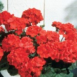 Geranium, Big Red Hybrid