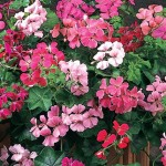 Geranium, Summer Showers Mix