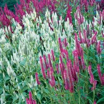 Glowing Spears Hybrid Mix Celosia Seeds
