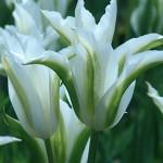 Green Star Tulip Bulbs