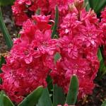 Hollyhock Hyacinth Bulbs