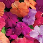 Impatiens, Candy Box