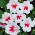 Impatiens, Cherry Splash