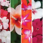 Impatiens Seeds and Plants