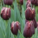 Jackpot Tulip Bulbs