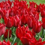 Jennie Butchart Tulip