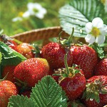 Jewel Strawberry Plants