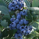 Jubilee Blueberry Plants