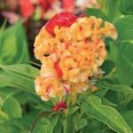 Kurume Corona Celosia Seeds
