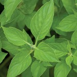 Lime Basil Seeds