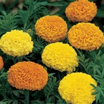 Marigold, Climax Mixed Colors Hybrid