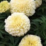 Marigold, French Vanilla Hybrid