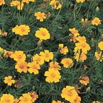 Marigold, Nema-Gone
