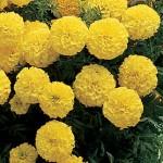 Marigold, Primrose Lady Hybrid