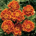 Marigold, Queen Sophia®