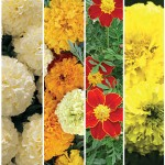 Marigold Seeds and Plants
