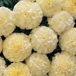 Marigold, Snowball Hybrid