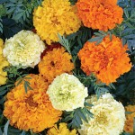 Marigold, Sugar And Spice Mix