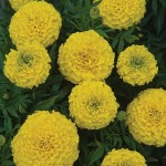 Marigold, Taishan Yellow
