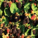 Marionberry Plants