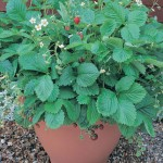Mignonette Strawberry Plants
